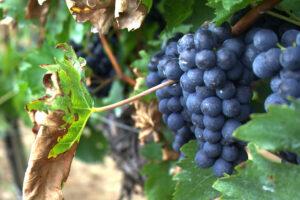 Ottobrata Sagra dell'uva